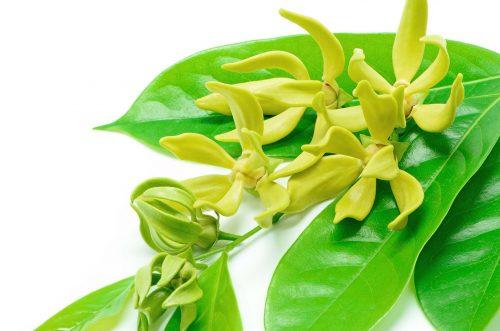 uses of ylang ylang esential oil